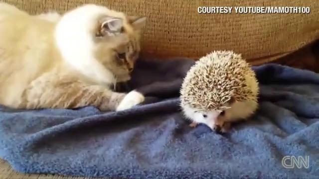 ハリネズミにちょっかい出した猫に悲劇が!!!