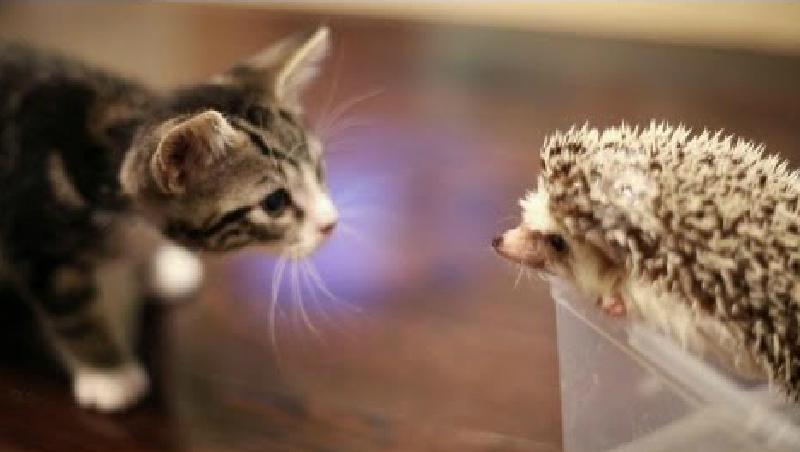 ハリネズミさんとのご対面…まだまだ怖がりの子猫ちゃん♡