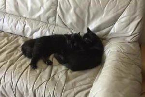 超美人の黒猫さん2匹が、お互いなめなめ。身だしなみだいじ!