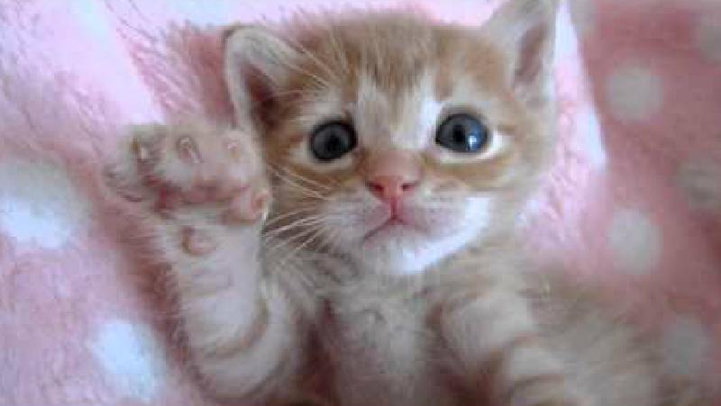 飼い主さんの指にじゃれているうちに….急に電池が切れて眠くなっちゃう仔猫♥