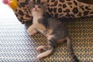 ねこじゃらしとじゃれているうちに、時々疲れてしまう子猫ちゃん