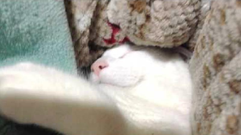 大胆にいびきをかくヅラ猫大五郎くん........後半には寝言?