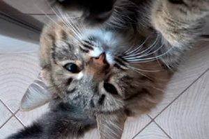 もふもふ縞猫ちゃんかわいくオネダリ♡ もぐもぐ夢中です♪