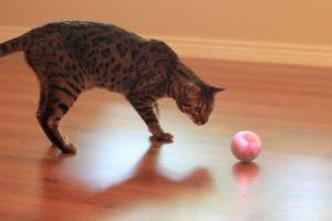 不規則に動く謎の光るボール VS 猫ちゃん♪