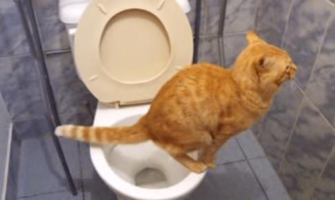 トイレが上手すぎる猫ちゃん! ちゃんと座って...ぽちゃん♪ そして...お水で流します(゚д゚)!