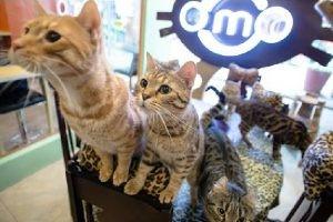 フィリピンの、ベンガル猫を集めた猫カフェ紹介動画。