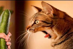 キュウリ猫
