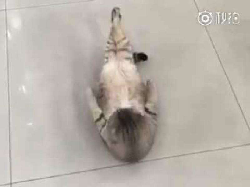 腹筋する猫ちゃん♡…って凄くない!????