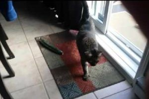 猫の下にキュウリは2本…無かった!飼い主さん思わずイヒッw