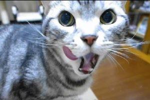 久々の猫缶が嬉しくて、歓喜の声を上げながらまとわりつきまくりのコテツ君♪