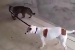 犬を散歩させる猫ちゃん