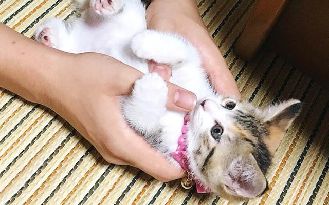 睡魔VS生後2ヶ月の子猫ちゃん♡ ガンバって起きようとするも。。。