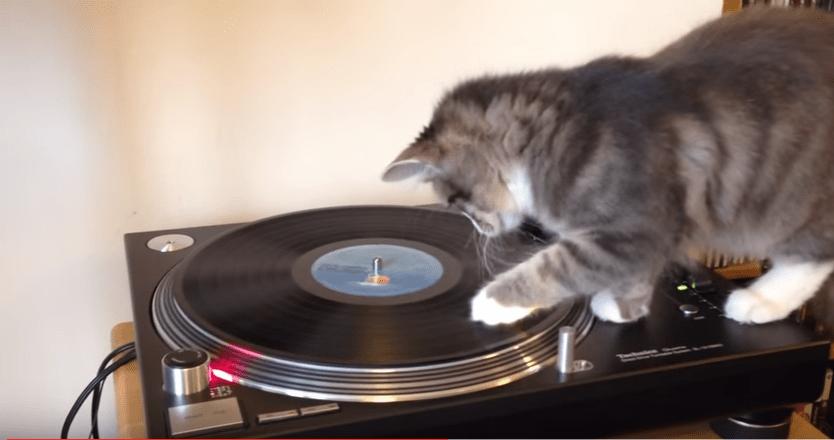 レコードプレイヤーに興味を持った猫ちゃん…最終的にはこうなりました(笑)