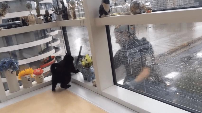 愛猫ギネスと窓拭きおじさんはとっても仲良し(*´ω`) 窓の外におじさんの姿を発見すると!!