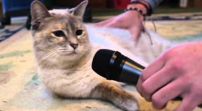 飼い猫(が)歌ってみた。コラボしようぜ!…嫌だと言ったら?