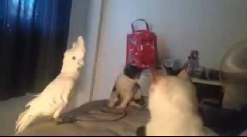オウムが猫の鳴き声を覚えちゃった!完全に戸惑うニャンコたちwww