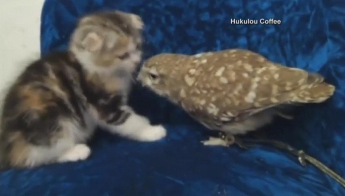 とっても仲良しな子猫ちゃんとフクロウ。今日も一緒にじゃれあって遊んでます
