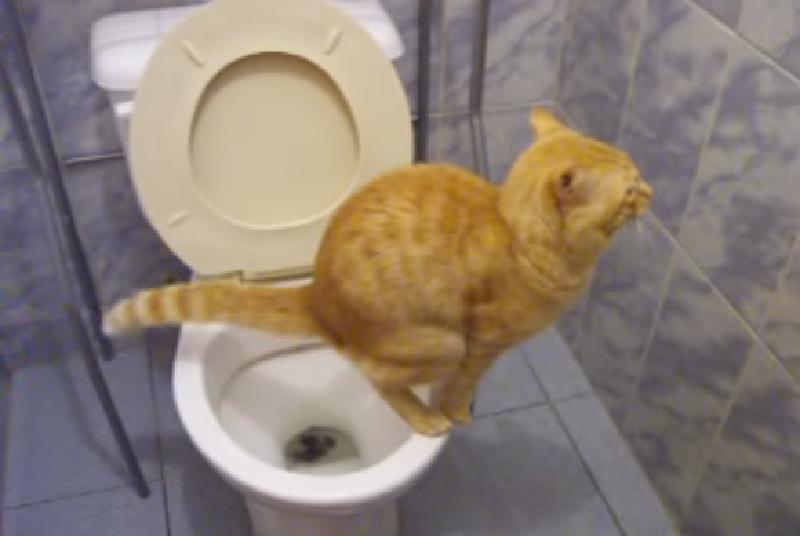 ちゃんとトイレで用を足すとっても賢い茶トラちゃん。猫用トイレではなく人間用トイレです。