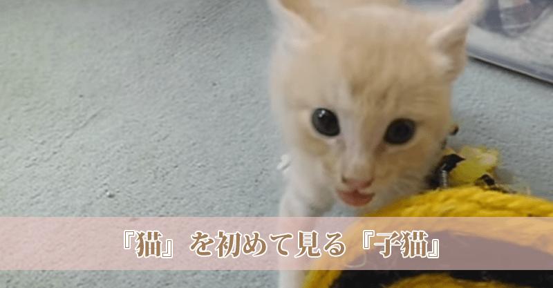 保護され人工飼育されていた子猫ちゃんが…はじめて大人の猫ちゃんとご対面!劇カワ反応(〃ω〃)