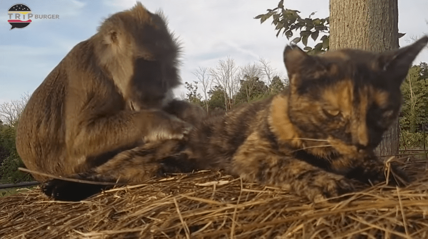 猿 VS 猫ちゃんのまとめ動画です!時には喧嘩…時には仲良し…そして時には。。。