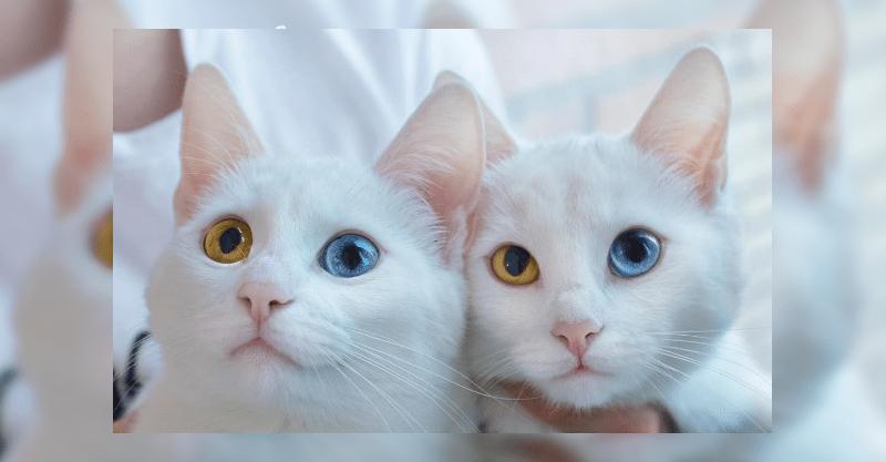 世界一美しいと話題の双子の姉妹白ネコちゃん!オッドアイの美しい瞳は神々しいです!