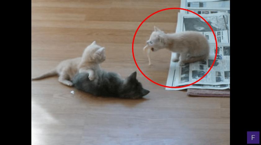 子猫ちゃんのサプライズ!喧嘩している2匹を止めた驚きの方法とは!?
