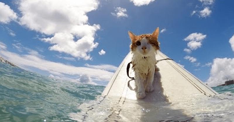 驚愕の猫ちゃんサーフィン!泳ぐのも大好き♪猫かきだって上手なんです✨