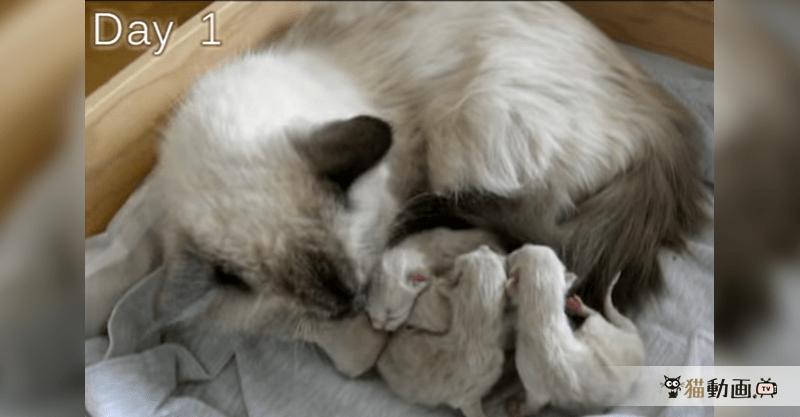 子猫が生まれてから50日目までを、1日に5~6秒ずつ撮影し繋いだ成長記録♪