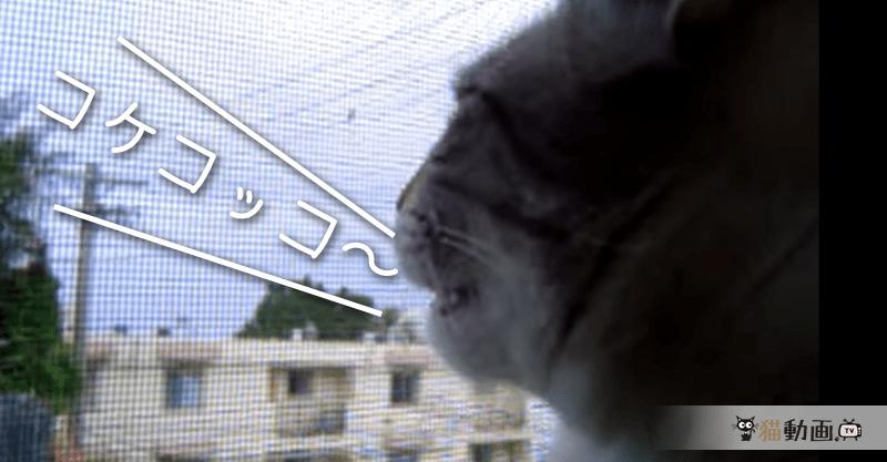 「コケコッコ~」と鳴く猫ちゃん (;・∀・)