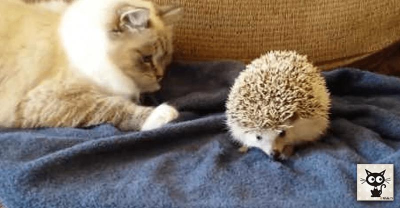 猫ちゃんとハリネズミの異種交流会でコントのような展開に( ´艸`)