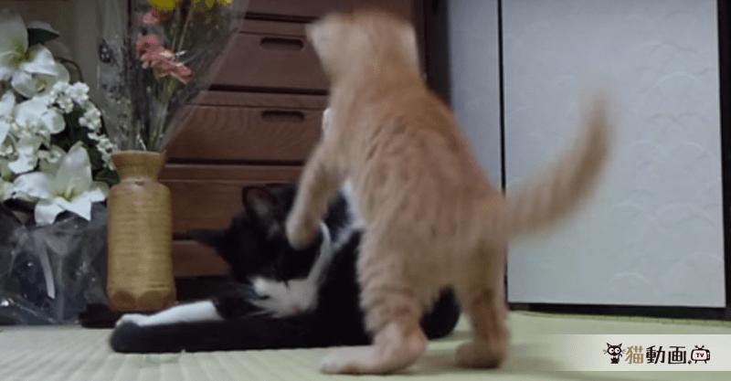 覚悟しっ……てくださいにゃ( >Д<;) 急に弱腰になる猫パンチ(笑)