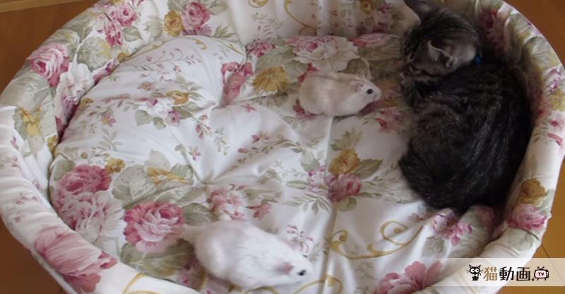 子猫ちゃんとハムスターの初対面! 結果は……( ´艸`)