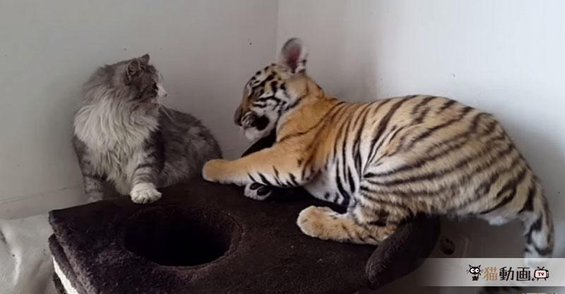 お前は猫だ! 猫になるのにゃ! 猫にじゃれつくトラにびっくり!