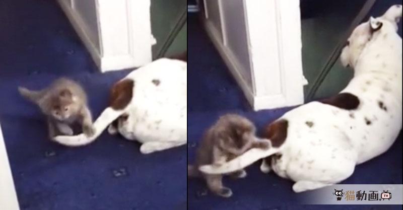 ワンちゃんの尻尾に猫パンチ( ´艸`) 子猫と犬のじゃらしじゃらさせ✨