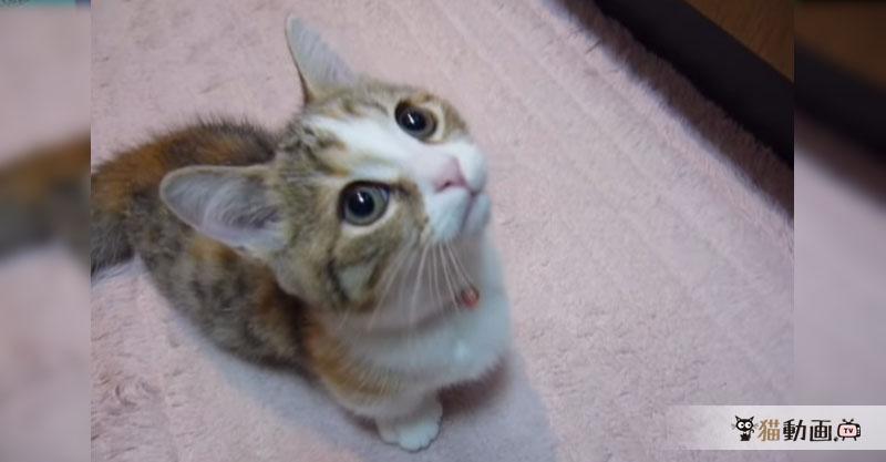 生後2ヶ月のマンチカンの子猫ちゃんは早くご飯がたべたいのです(*´ェ`*)