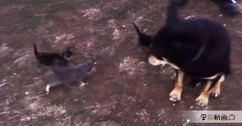 恐怖の子猫ちゃん! 大きいワンちゃんが怯えるほどの子猫ちゃんとは…こんな感じ( ´艸`)