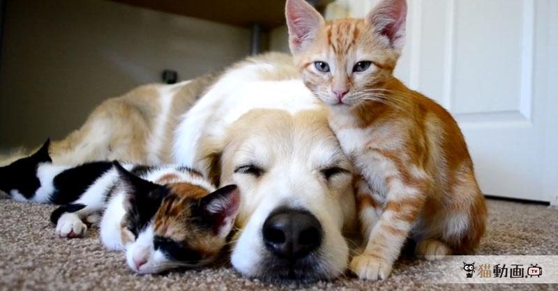 大好きな子猫たちと一緒にお昼寝をする犬の幸せな時間💕