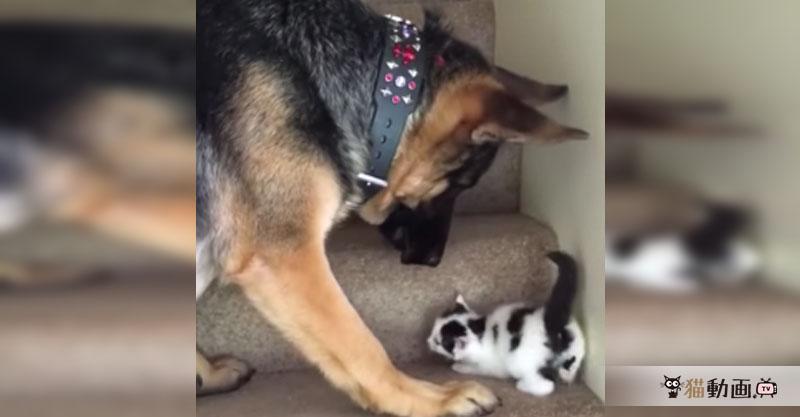 階段を素早く登れない子猫ちゃんを運んでくれたワンちゃん、その運び方が…(〃゚艸゚)…ドキドキ
