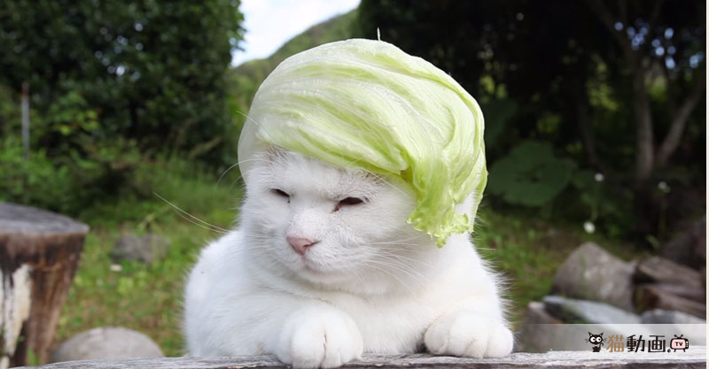 猫さんにレタスを被せてみたら……とってもオシャレでした(≧∀≦)