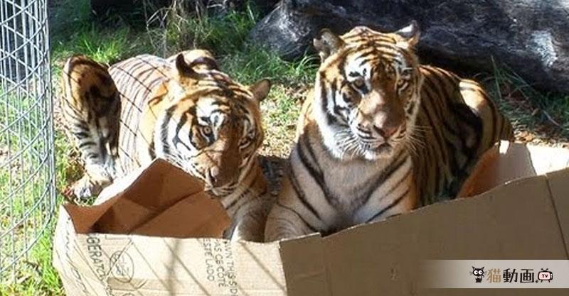【問題】猫はダンボール箱が好き。では、ネコ科の動物は? 答えは……