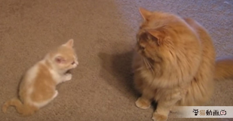 先輩猫に遊んで欲しくてアタックをしかける子猫ちゃんがとっても可愛い💕