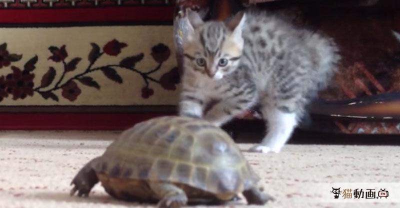 散歩中の亀さんに興味津々の子猫ちゃんが飛んだり跳ねたりo(。´>ω<`。)o