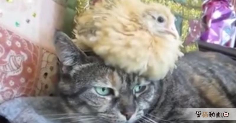 猫さんを親と思い込んだヒナの成長が早すぎて、猫さんの『どうしてこなった』顔が(笑)