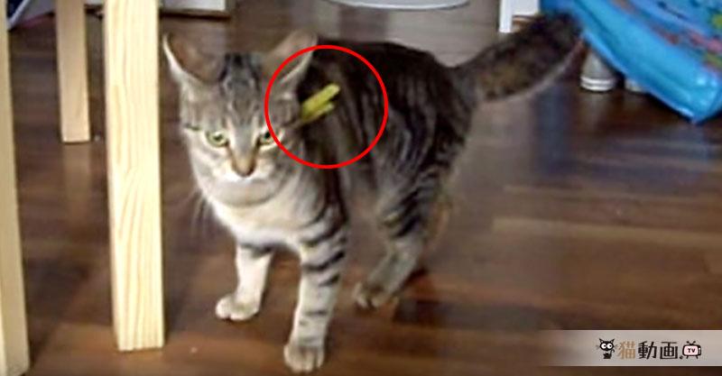 絶妙な位置にくっついてしまった洗濯バサミを取るために大奮闘の猫さん!