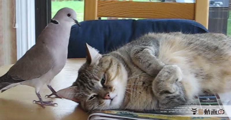 お昼寝を邪魔する鳩さんに控えめな反撃の猫さんが大人です。