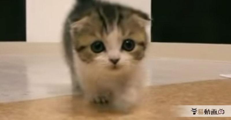 短い手足でよちよち歩くマンチカンの子猫が……可愛すぎです!