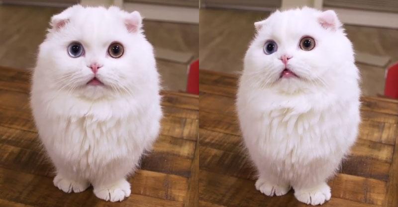 神的なオッドアイを持つ白猫さん、その瞳に吸い込まれるぅヽ(=´▽`=)ノ