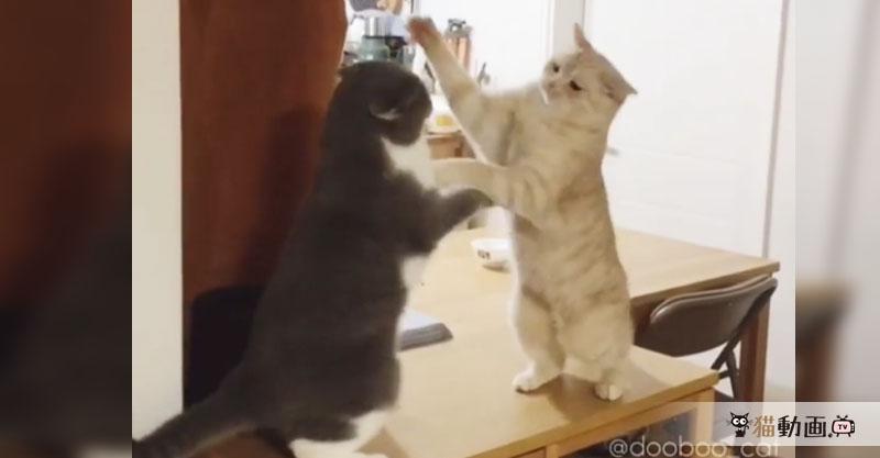 ちょっとゆったりな猫パンチ合戦! その勝敗の行方は……