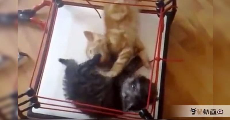 【時は来た!】リングで大乱闘する猫ちゃんの時間無制限一本勝負!!!