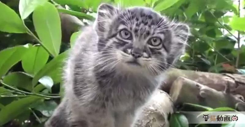 世界最古の猫『マヌルネコ』がモッフモフでクセになるフォルムです✨